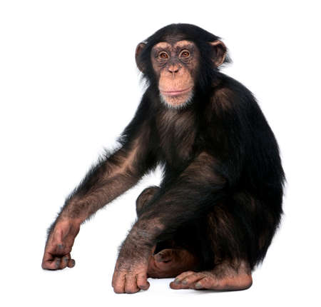 Young Chimpanzee, Simia troglodytes, 5 years old, sitting in front of white background