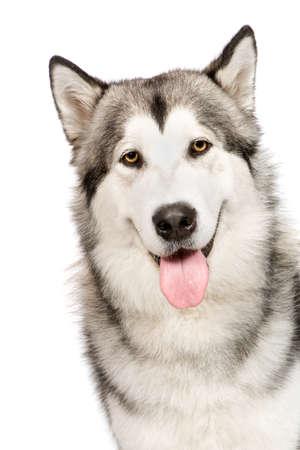 Alaskan Malamute () in front of a white background