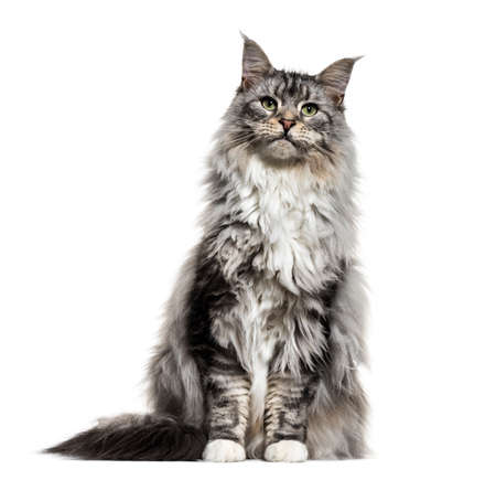 Main coon cat, sitting, isolated on white Фото со стока