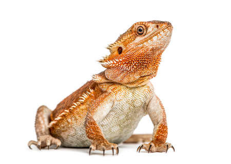 bearded dragon (pogona vitticeps) isolated on white background Imagens