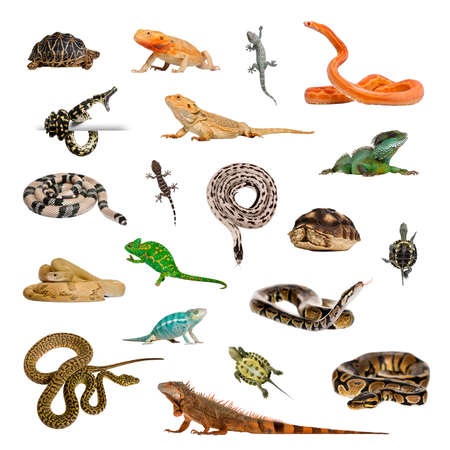 Large collection of reptile, pet and exotic, in different position, Isolated on white background. Zdjęcie Seryjne
