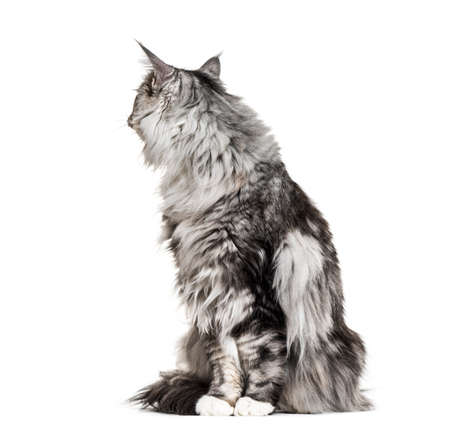 Main coon cat sitting, lokking back, isolated on white Stock Photo
