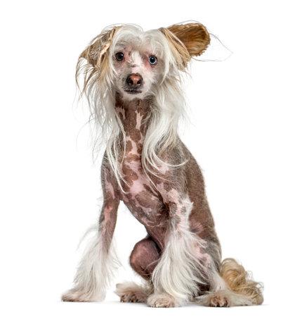 Shaggy, harige, Chinese crested dog, zittend geïsoleerd op wit Stockfoto - 91808972