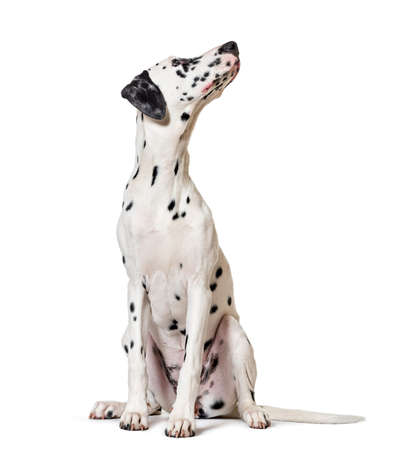 Dalmatian dog, sitting, looking at the camera, isolated on white Stockfoto
