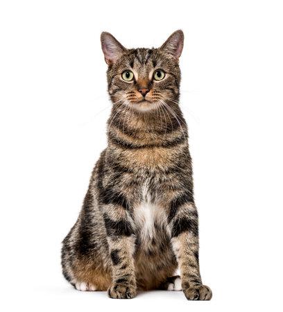 Gestreepte gemengd ras kattenzitting, geïsoleerd op wit, (2 jaar oud)