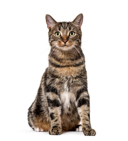 Striped mixed-breed cat sitting, isolated on white, (2 years old) Фото со стока