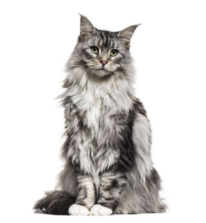 Main coon cat, sitting, isolated on white 스톡 콘텐츠