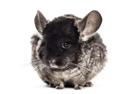 Chinchilla (4 years old), isolated on white Stock Photo