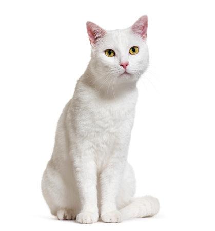 Witte gemengd ras kat (2 jaar oud), geïsoleerd op wit