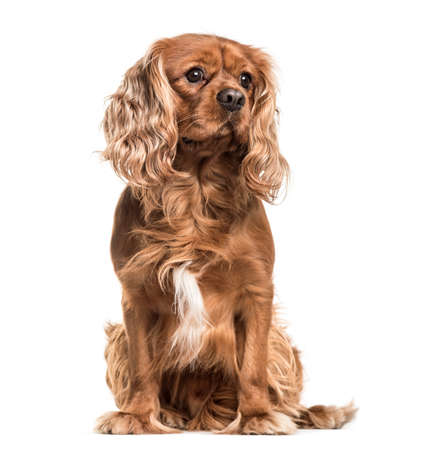 Brown cavalier King Charles Spaniel dog, sitting, isolated on white 스톡 콘텐츠