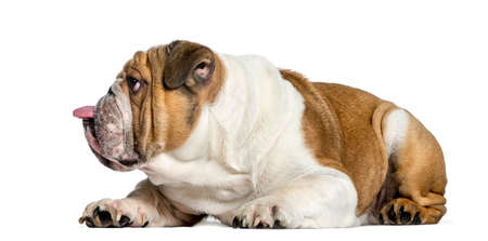 Side view of a english Bulldog, dog sticking the tongue out, isolated on white Stock fotó - 91809287