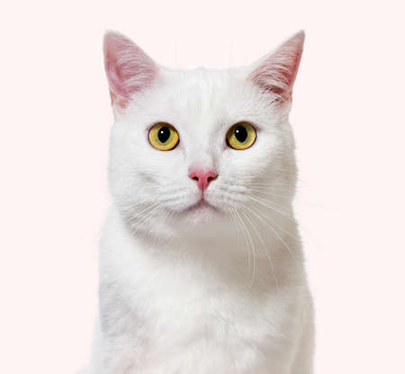 White mixed-breed cat facing at the camera(2 years old) Archivio Fotografico