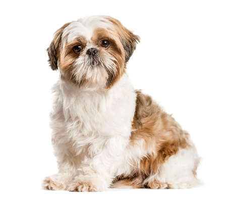 Shih Tzu, dog sitting and looking at the camera, isolated on white