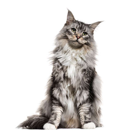 Main coon cat, sitting, isolated on white Stock Photo