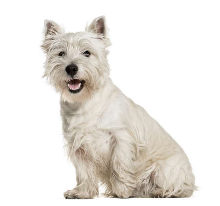 West Highland White Terrier sitting against white background