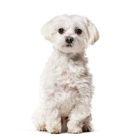 Malteser Hund sitzt vor weißem Hintergrund