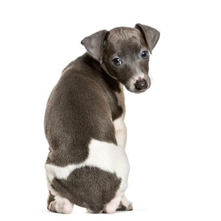 Italian Greyhound puppy sitting against white background Stock fotó