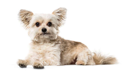 Mixed breed dog lying against white background Stock Photo
