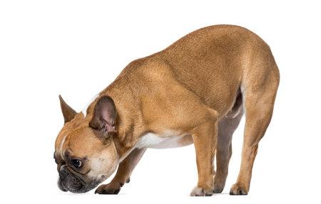 French Bulldog sniffing ground against white background Archivio Fotografico