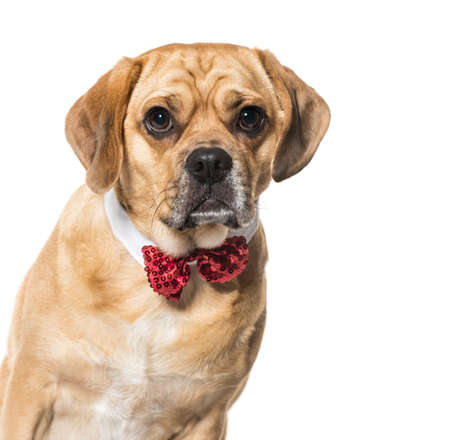 Mixed breed dog in red bow tie against white background Imagens