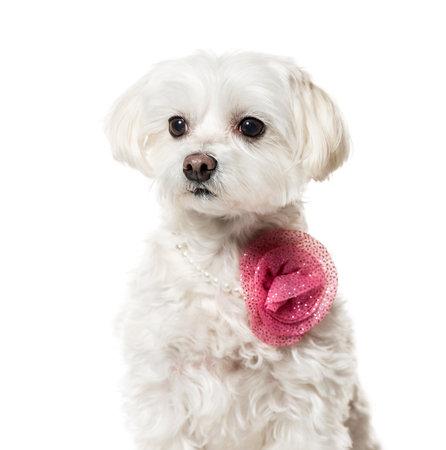 Maltese dog in pink fashion sitting against white background