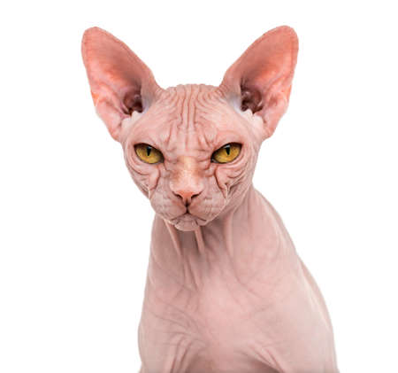 Sphynx, 4 years old, against white background Banco de Imagens