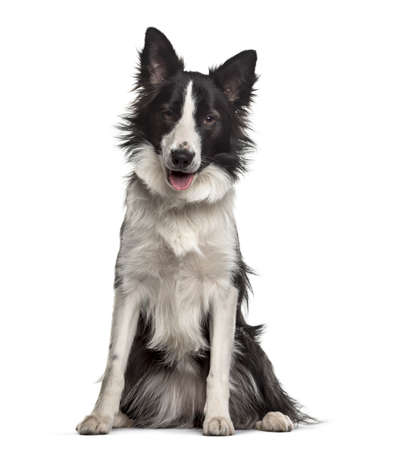 Border Collie dog , 18 months old, sitting against white background