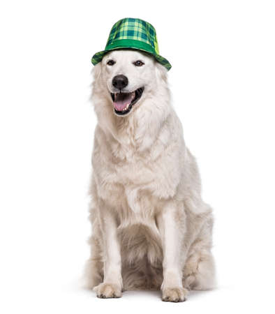 Swiss White Shepherd dog , 4 years old, in green tartan hat sitting against white background Stock Photo