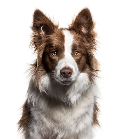 Border Collie, 1 year old, portrait against white background