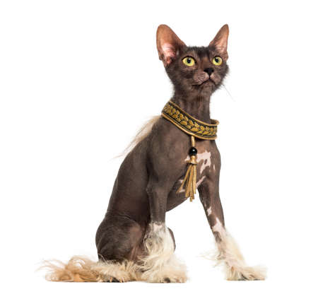 chimera with a Chinese Crested dog with the head of a Lykoi cat against white background