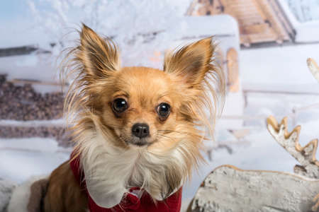 Chihuahua in red clothing sitting in winter scene, portrait