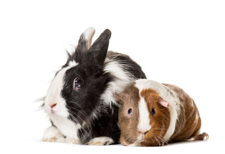 Guinea pig and rabbit sitting against white background 版權商用圖片