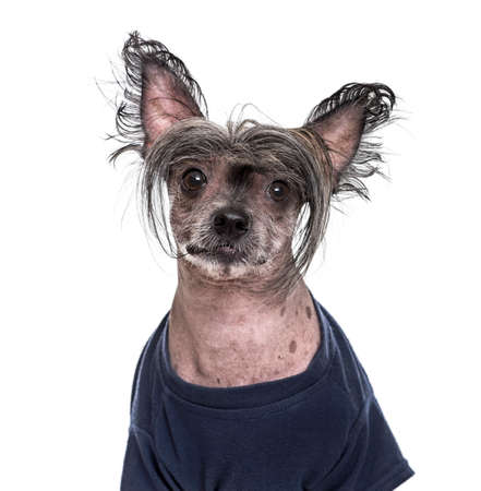 Chinese Crested Dog , 5 years old, in blue clothing against white background Stock Photo