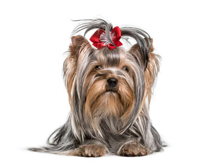 Yorkshire Terrier dog , 3 years, lying against white background Stock Photo