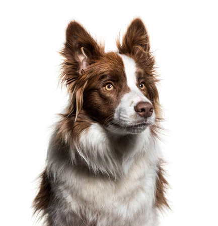 Border Collie, 1 year old, looking up against white background Banque d'images