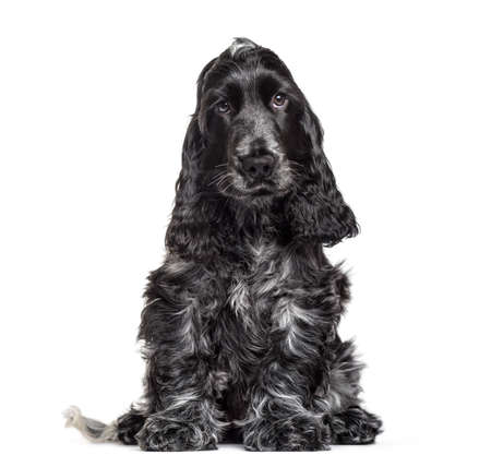 Cocker Spaniel puppy , 3 months old, sitting against white background Stock Photo