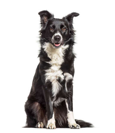 Border Collie dog , 1 year old, sitting against white background Banque d'images