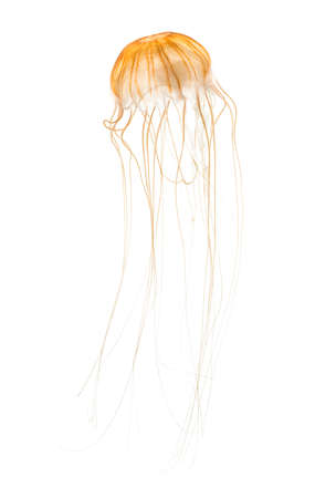 Japanese sea nettle, Chrysaora pacifica, Jellyfish against white background Stock fotó - 101519016