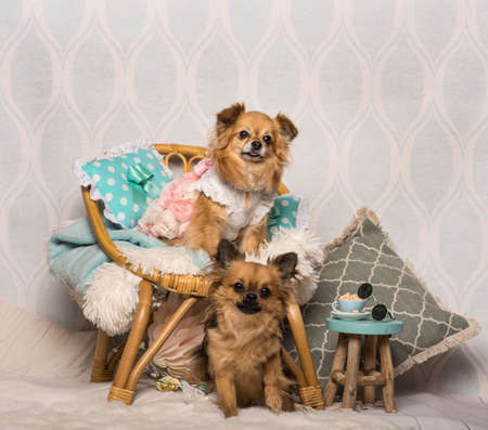 Chihuahua dogs sitting around chair in studio, portrait