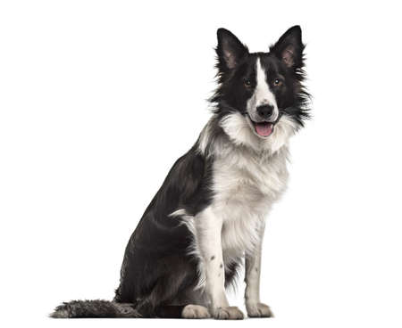Border Collie dog, 18 months old, sitting against white background