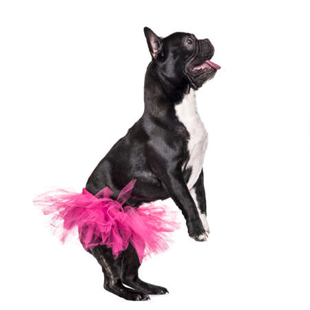 French Bulldog, 1.5 years old, dancing in tutu standing against white background Stock Photo