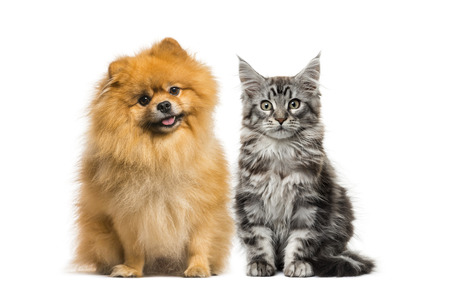 Maine coon kitten, Spitz dog, in front of white background