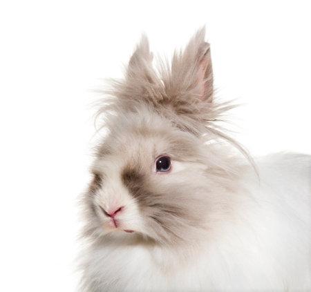 Angora rabbit, close up against white background Standard-Bild - 115457751