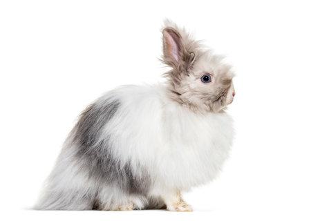 Angora rabbit, sitting against white background Standard-Bild - 115457754
