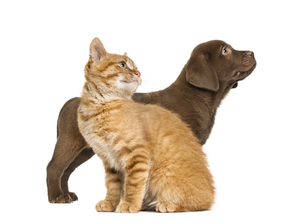 Labrador Retriever Puppy and Ginger cat, in front of white background Standard-Bild - 115457759