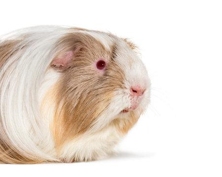 Coronet cavy, Guinea pig against white background Standard-Bild - 115558873