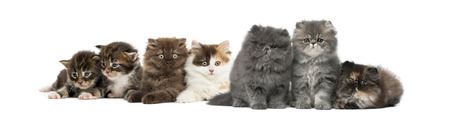 Highland straight and fold kittens, Maine coon kittens, Persian kittens, in front of white background Standard-Bild - 115558877
