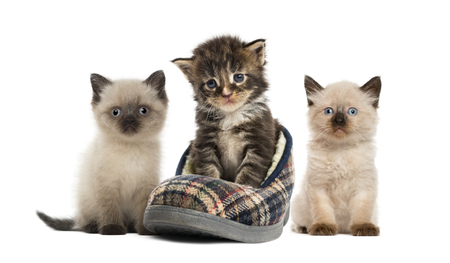Maine coon kitten, British Shorthair Kitten, in front of white background Stock Photo