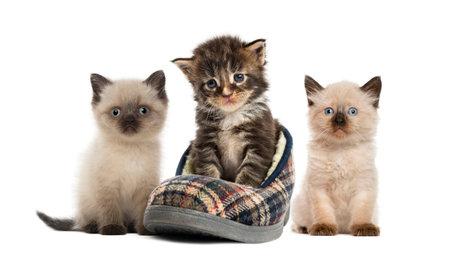 Maine coon kitten, British Shorthair Kitten, in front of white background Standard-Bild - 115558878