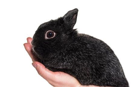 Dwarf rabbit held in hand against white background Standard-Bild - 115558879